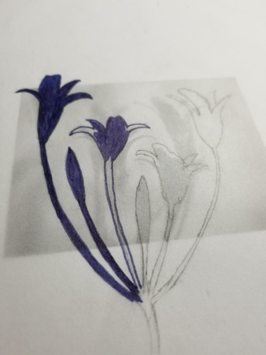 Brodiaea drawing
