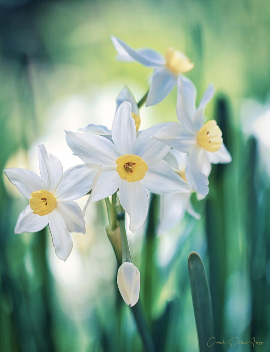 Daffodil Macro Photography
