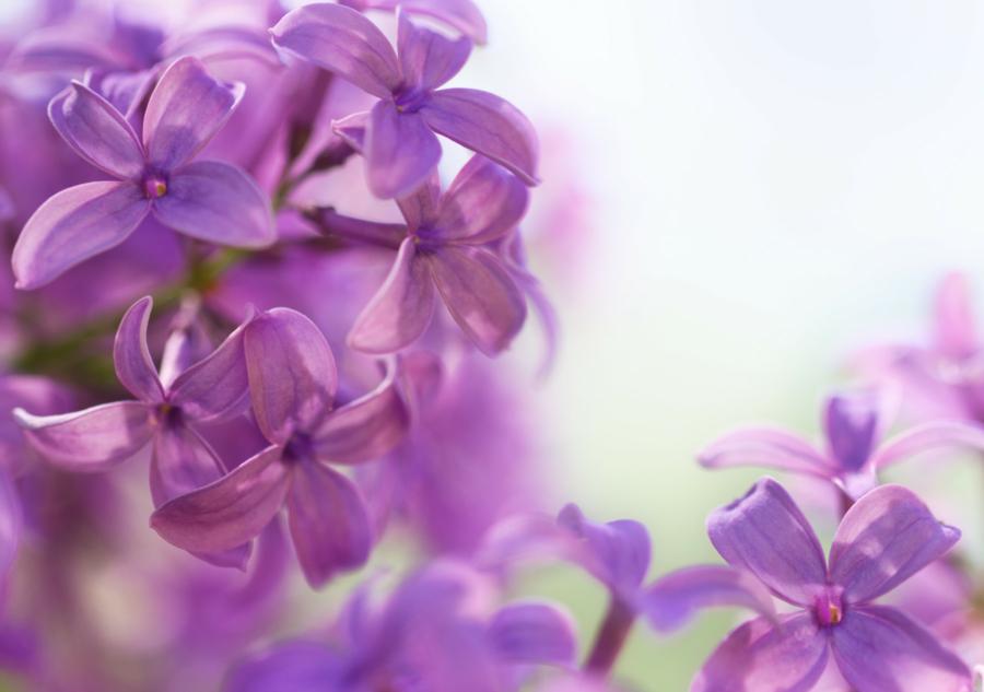 Lilac Flowering blooms